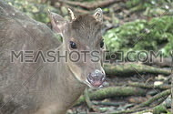Red Brocket Deer (1 of 3)