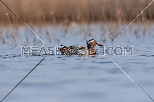 The garganey (Spatula querquedula) is a small dabbling duck. It breeds in much of Europe and western Asia