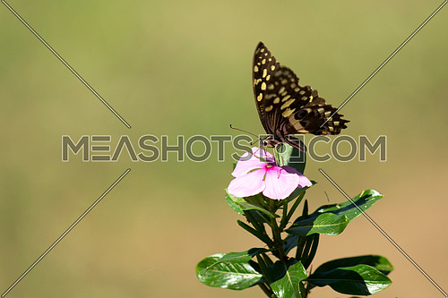 Butterfly over a pink flower on a natural green background