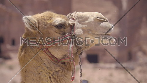 Close up shot of the side of a camels head