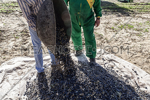 Jaen, Spain - January 2, 2016: Two farmers unload olives in a heap on the floor, during the winter in January, take in Jaen, Spain