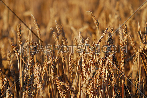 wheat and blue sky   (NIKON D80; 6.7.2007; 1/250 at f/6.3; ISO 100; white balance: Auto; focal length: 230 mm)