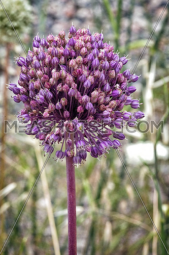 Allium sativum, the scientific name of the flower of the garlic, It is a perennial plant with leaves thin, flat, up to 30 cm in length. The roots easily reach depths of 50 cm or more