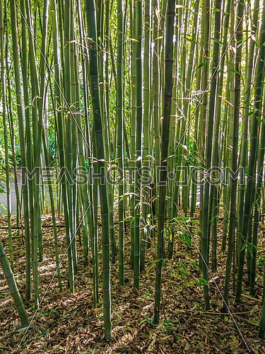 Tall green bamboo shoots in a garden