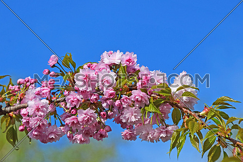 Branch of pink cherry blossom sakura flowers with fresh new buds over background of blue sky and green spring leaves