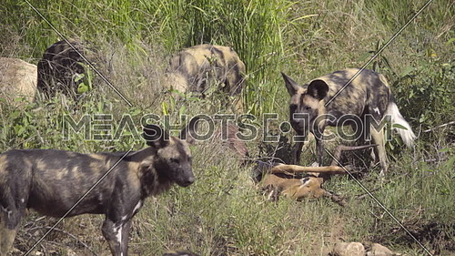 Scene of a pack of Wild Dogs inspecting a kill