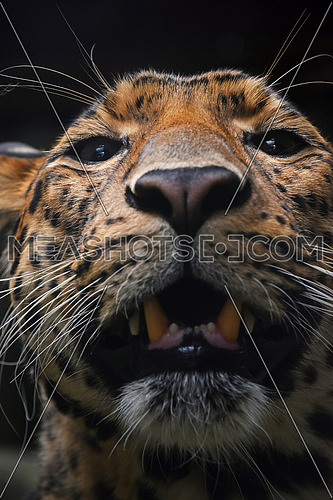 Face to face extreme close up portrait of Persian leopard (Panthera pardus saxicolor) looking at camera, low angle view