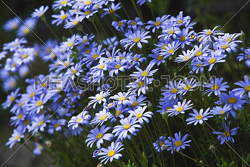 daisies of blue color and violet of brilliant color during spring