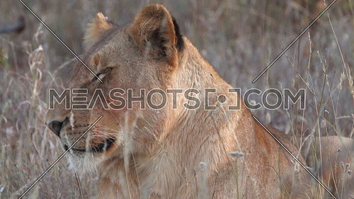 Scene of a drowsy lion waking up