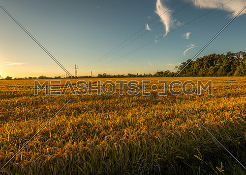 In the picture rice field at sunset near Milan,italy.