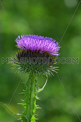 One big purple thistle flower head, egret with thorns in summer meadow over green background