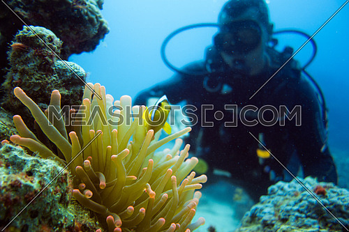 An underwater diver playing with clown fish