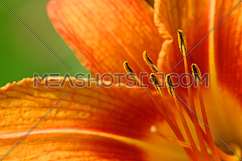 Orange lily colorful abstract background
