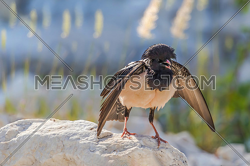 The rosy Starling (Sturnus roseus) is standing and looking at the camera.
