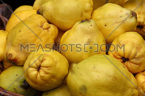 Fresh crop harvest of big yellow ripe autumn quince fruits close up