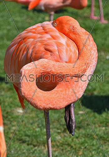 Close up side profile portrait of pink orange flamingo, hiding head in feather, over green grass background, high angle view