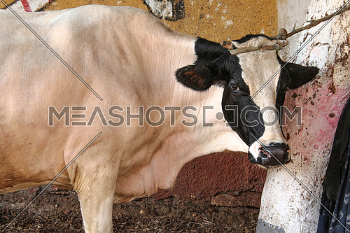 A photo of a cow in a farm in a village