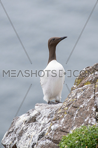 Closeup of Guillemot (Uria aalge) Wildlife animal