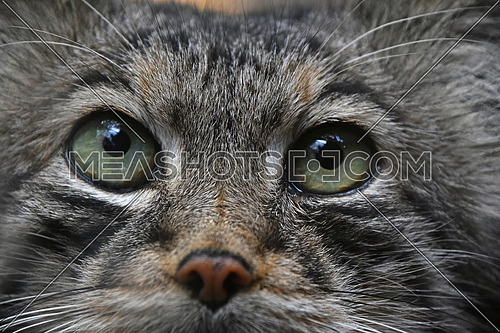 Extreme close up portrait of one cute Manul kitten (The Pallas's cat or Otocolobus manul) looking at camera, low angle view