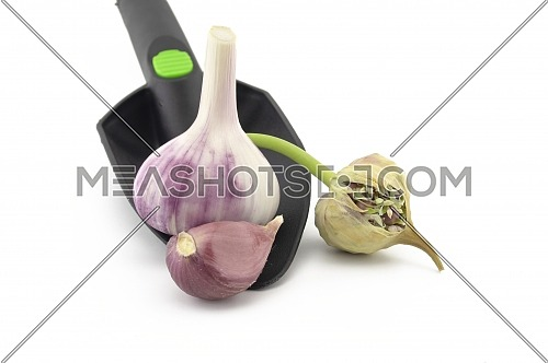 Garlic bulbs, cloves and seed head in garden trowel over white in a concept of planting, growing, and harvesting garlic