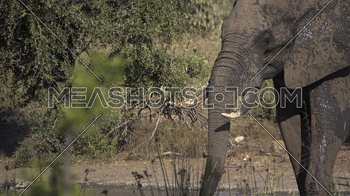 Scene as elephant sprays water into its mouth
