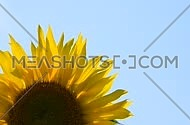 One open yellow sunflower flower head crop close up, shaking translucent petals in the wind over background clear blue sky