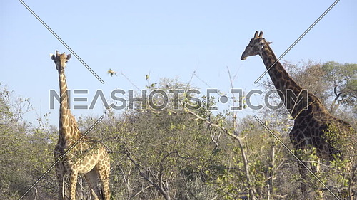 View of a male and female Giraffe standing on alert