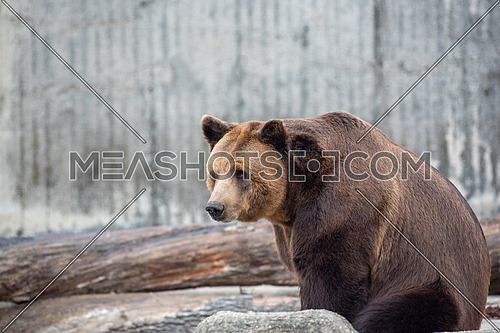 European brown bear ((Ursus arctos) This is the most widely distributed bear and is found across much of northern Eurasia and North America.