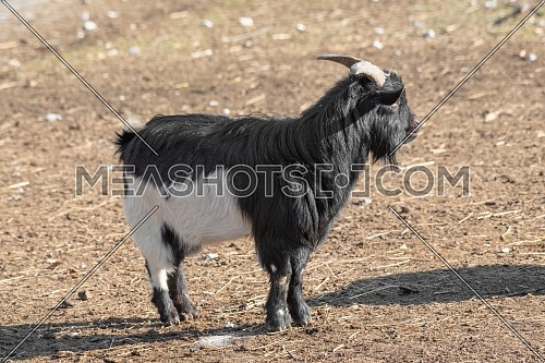 Portrait of African pygmy goat on the farm. Nature and wildlife photo