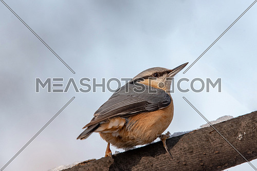 Eurasian Nuthatch Sitta europaea in winter, sitting on a tree trunk.