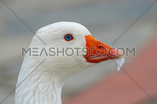 Domestic goose (Anser cygnoides domesticus) in profile. Domesticated grey goose, greylag goose or white goose portrait in nature