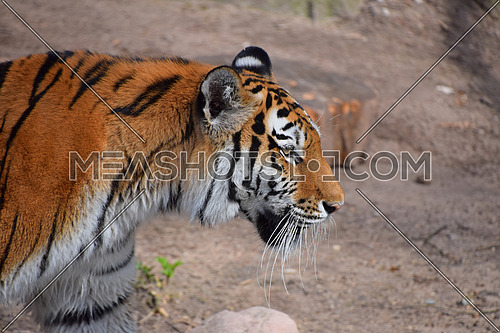 Close up side profile portrait of Siberian tiger (Amur tiger, Panthera tigris altaica), high angle view