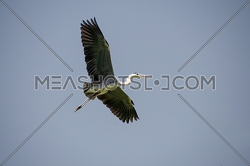 Grey Heron (Ardea cinerea) in flight. Wildlife in natural habitat