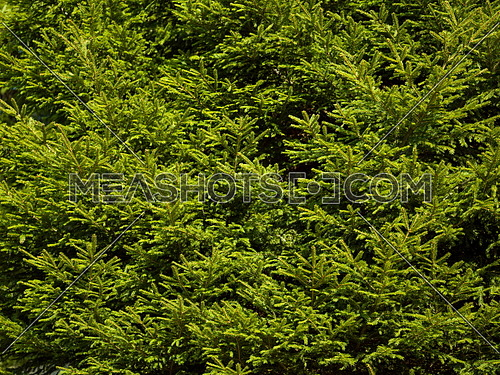 green  forest background prickly branches of a fur tree or pine tree