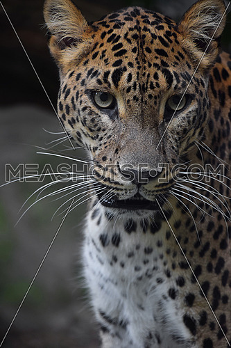Face to face close up portrait of Persian leopard (Panthera pardus saxicolor) looking at camera, low angle view
