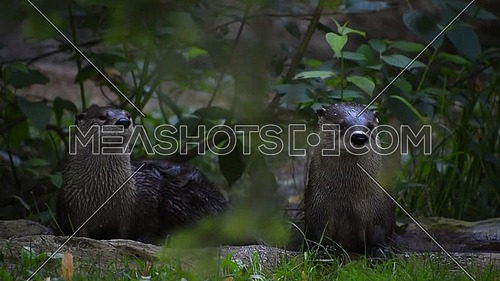 Close up portrait of two giant otters looking alerted around and at camera out of water in zoo enclosure, low angle view