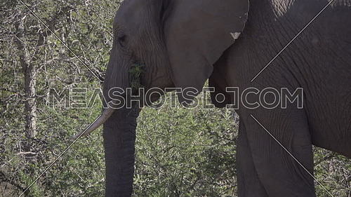 Pan up view of an elephants trunk