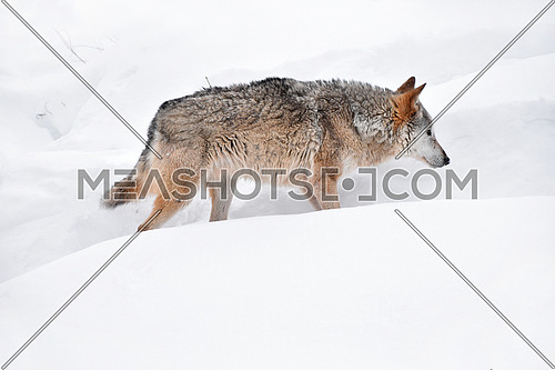 Close up full length profile portrait of one grey wolf walking in deep winter snow and looking forward, low angle side view