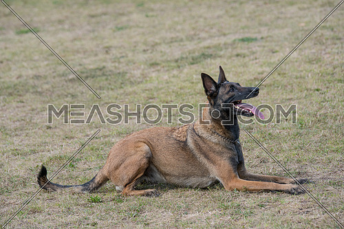Belgian Shepherd dog lying down outdoors in summer.Selective focus on the dog
