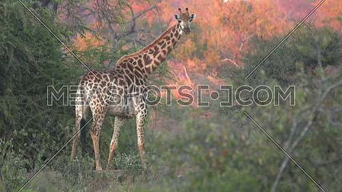 A scene of dramatic sunset light beind a Giraffe