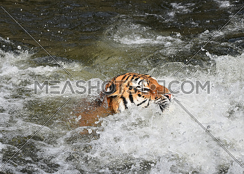 Siberian Amur tiger swimming in water