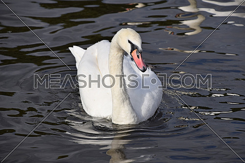 Close up portrait of one beautiful white swan in water with waves and ripples, high angle front view