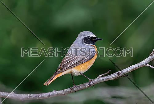 Common redstart (Phoenicurus phoenicurus) sits on  branch in a forest park in the summer during the breeding season.