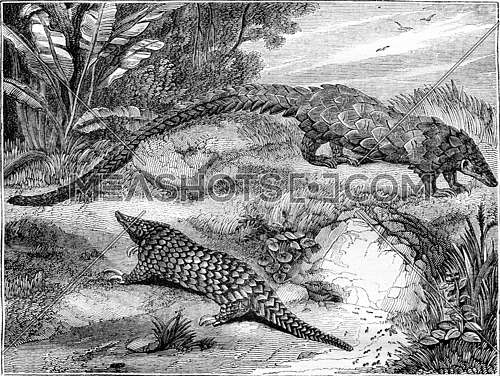 The pangolins, vintage engraved illustration. Magasin Pittoresque 1836.