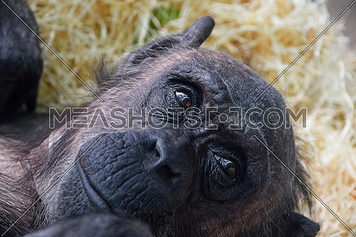 Close up portrait of young chimpanzee female resting and looking away from camera