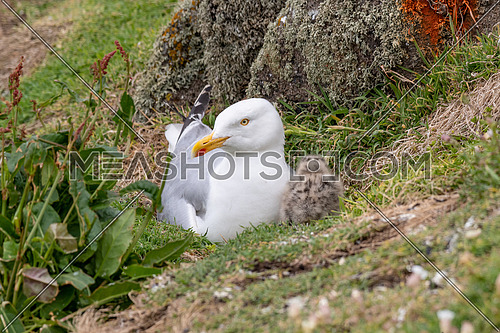 European Herring Gull is one of the best known of all gulls along the shores of western Europe.