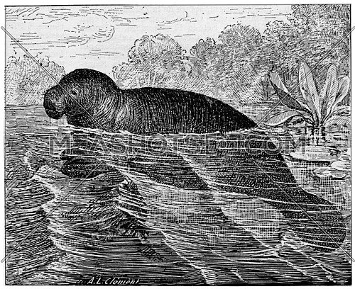 Manatee or Sea cows, vintage engraved illustration. Dictionary of words and things - Larive and Fleury - 1895.