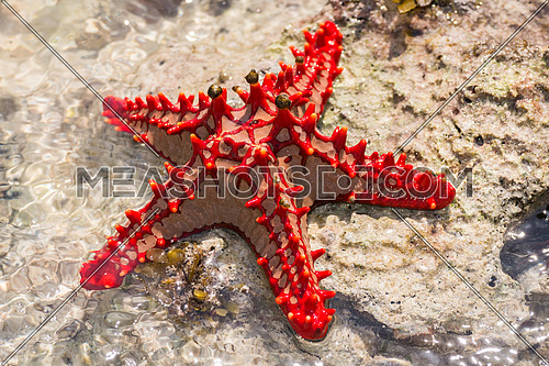 Close-up at red starfish lying on the rock, zanzibar republic of Tanzania.