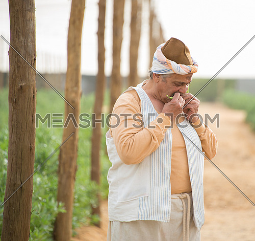 A farmer tasting raw broad beans in the farm