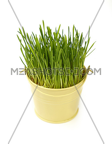 Spring fresh green grass growing in small painted metal bucket, close up over white background, high angle view
